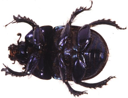 Introduction to dung beetles